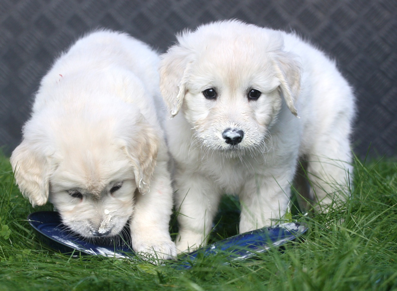 Hunder til salgs